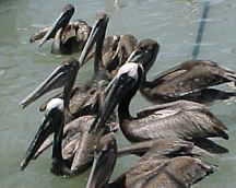 Pelicans in the Gulf of Mexico in Corpus Christi, Texas